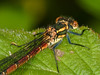 Large Red Damsel Fly (Pyrrhosoma nymphula). Copyright Peter Drury 2010