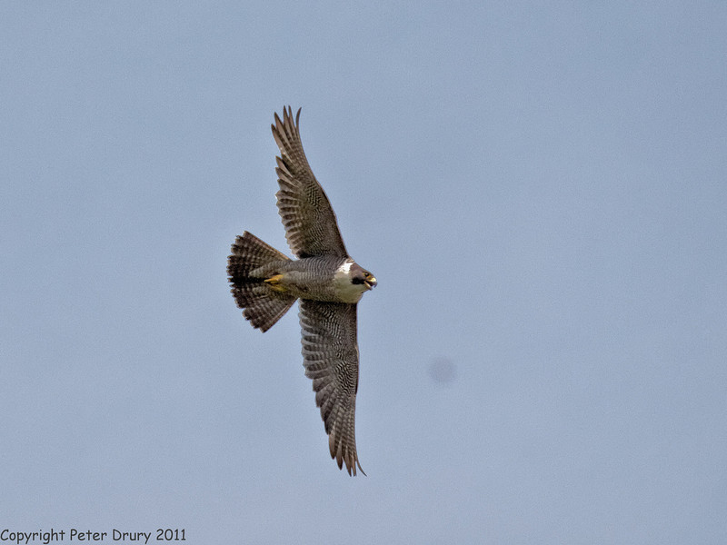 27 June 2011. Peregrine Falcons at the Chalk Quarry. Fledgling in flight. Copyright Peter Drury 2011