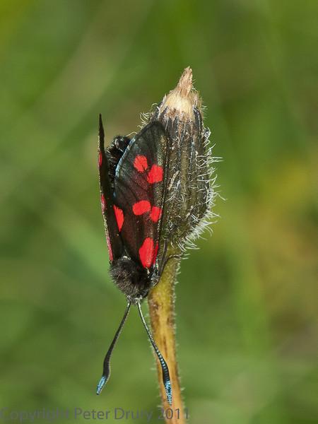 22 Jul 2011 6 spot Burnet moth at Portchester Common.