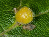 Close-up of leaf gall. Copyright Peter Drury 2010<br /> The two insects in this image are Barkfly (Psocopterans) larvae (Trichopsocus sp).<br /> To give these items scale, the gall is only about 2mm diameter.