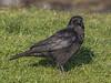 02 February 2012 Carrion Crow on Portsdown Hill
