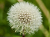 28 April 2011. Dandelion seed head at the Chalk Quarry. Copyright Peter Drury 2011