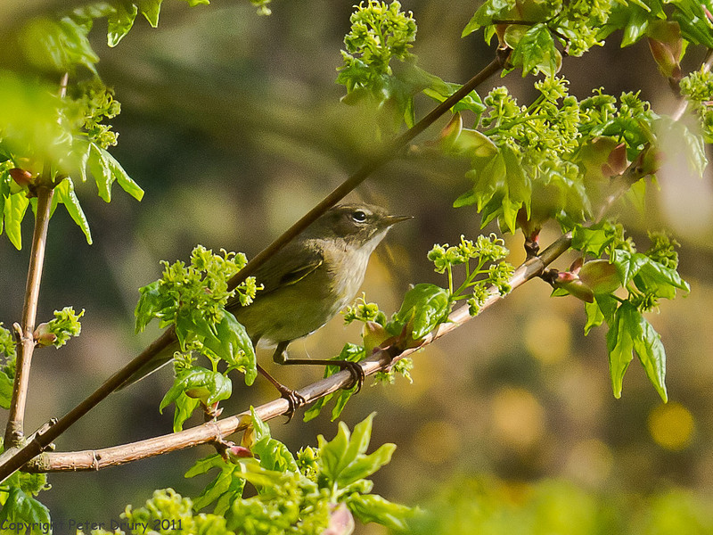 12 April 2011. Chiffchaff at the Chalk Quarry.  Copyright Peter Drury 2011