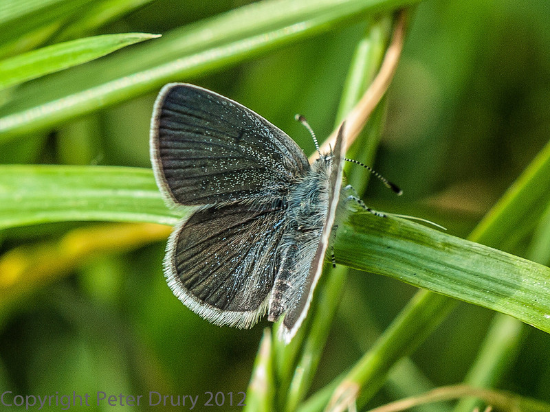 28 May 2012 Small Blue at the chalk quarry, Paulsgrove