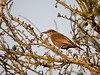 Blackbird (Turdus merula). Copyright 2009 Peter Drury<br /> Juvenile