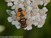 31 Aug 2010 - Eristalis arbustorum. Copyright Peter Drury 2010<br /> Portsdown Hill, near Fort Widley.