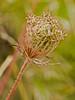 Wild Carrot (Daucus carota). Copyright Peter Drury 2009<br /> Seedhead.