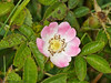 24 Jun 2011. Dog Rose (Rosa canina) at the Chalk Quarry. Copyright Peter Drury 2011