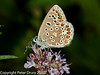 26 July 2010 - Common Blue. Copyright Peter Drury 2010