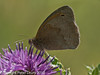 Meadow Brown (Maniola jurtina). Copyright Peter Drury 2010