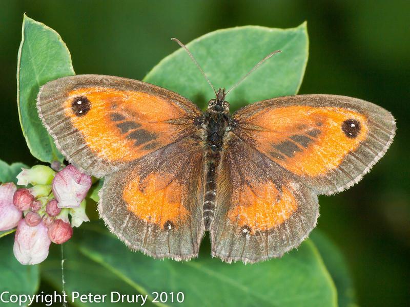 Gatekeeper (Pyronia tithonus). Female.. Copyright Peter Drury 2010