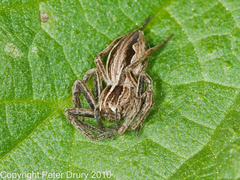 07 Oct 2010 - Pisaura mirabilis. Copyright Peter Drury 2010