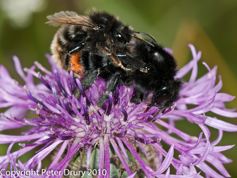 25 July 2010 - Bombus rupestris. Copyright Peter Drury 2010<br /> A pair of mating bees.