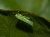 Leafhopper. Copyright 2009 Peter Drury