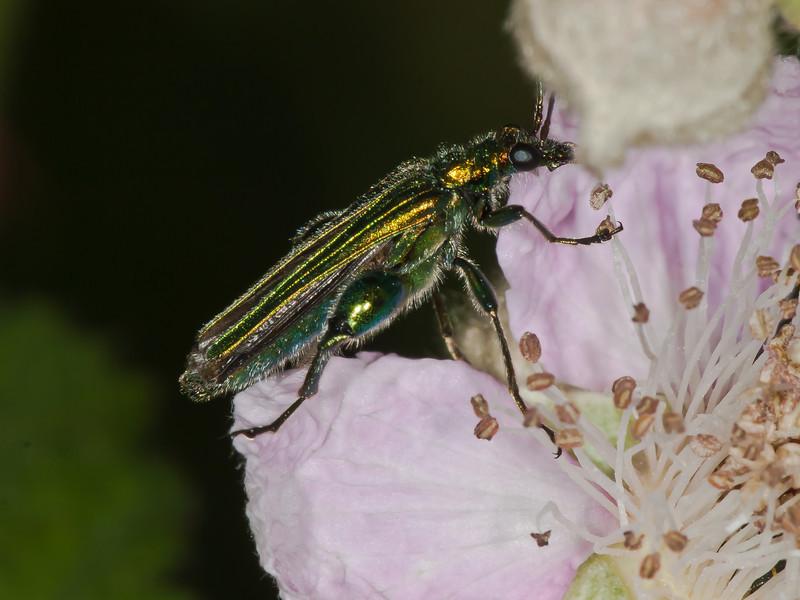 Thick-kneed Flower Beetle (Oedemera nobilis). Copyright Peter Drury 2010