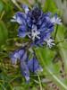 Chalk Milkwort (Polygala calcarea) . Copyright Peter Drury 2010