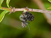 Empis tessellata. Copyright Peter Drury 2010<br /> Seen here clutching its prey.