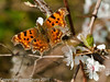 23 March 2011. Comma on Cherry plum (Prunus cerasifera) Blossom. Female. Copyright Peter Drury 2011