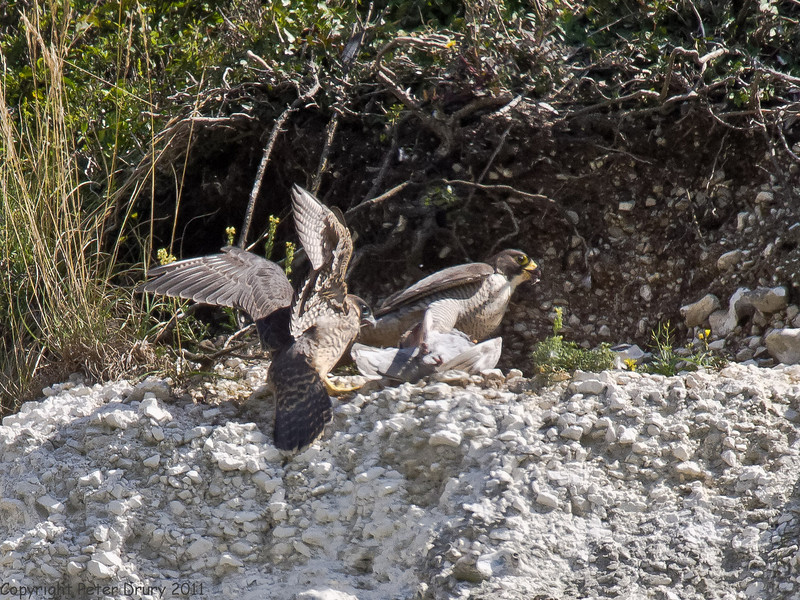 01 July 2011. Peregrine at the Chalk Quarry. Copyright Peter Drury 2011
