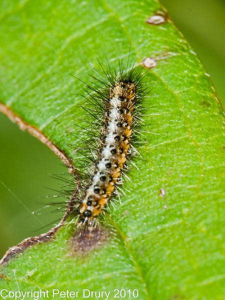 07 Oct 2010 - Garden Tiger (Arctia caja) Early instar  larvae. Copyright Peter Drury 2010
