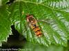 Episyrphus balteatus. Copyright Peter Drury 2010