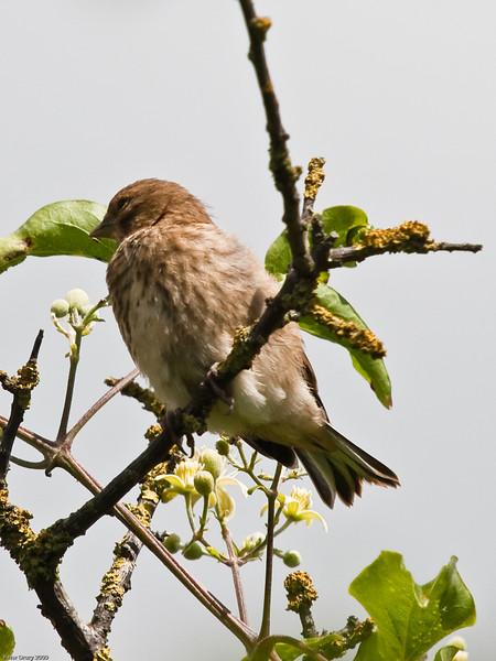 Linnet (Carduelis cannabina). Copyright 2009 Peter Drury<br /> Fledgling awaiting feeding<br /> Portsdown Hill, Portchester