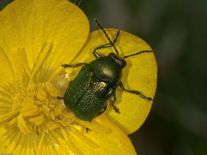 Cryptocephalus hypochaeridis?. Copyright Peter Drury 2010