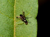 Looks like a Stilt-legged fly - can anyone help?. Copyright 2009 Peter Drury