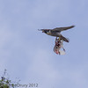 18 June 2013 Female Peregrine with prey.