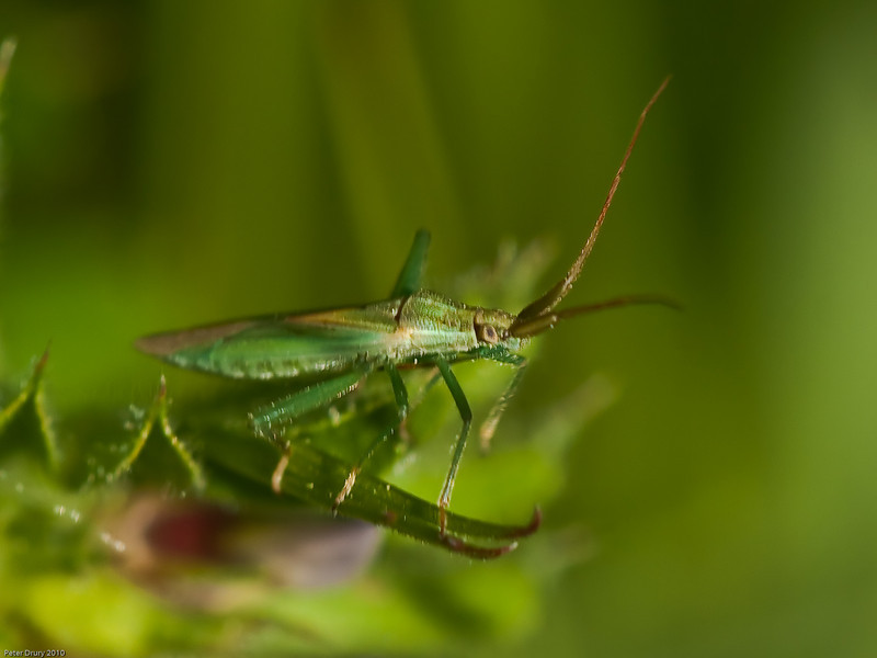 Common Green Capsid?. Copyright Peter Drury 2010