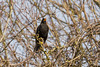 Blackbird on Portsdown Hill