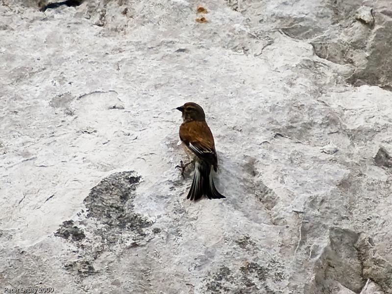Linnet (Carduelis cannabina). Copyright 2009 Peter Drury<br /> Old chalk quarry, Portsdown Hill, Paulsgrove