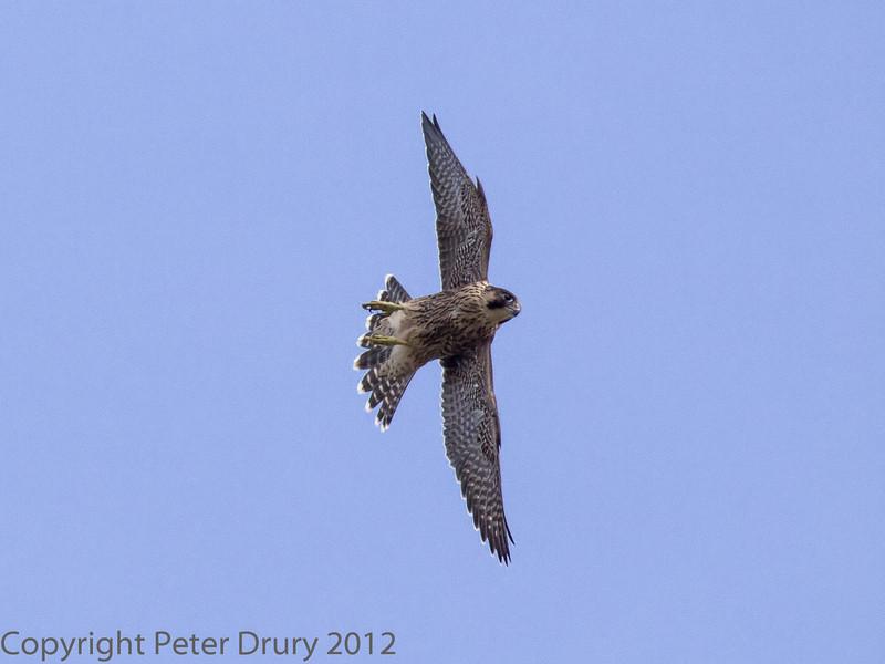 18 June 2013 Fledgling Peregrine in flight.