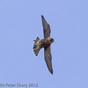 18 June 2013 Fledgling Peregrine in flight.