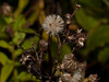 Sea Aster (Aster tripolium) Seed Head. Copyright 2009 Peter Drury