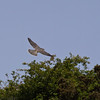 27 June 2011. Peregrine Falcon at the Chalk Quarry. Copyright Peter Drury 2011