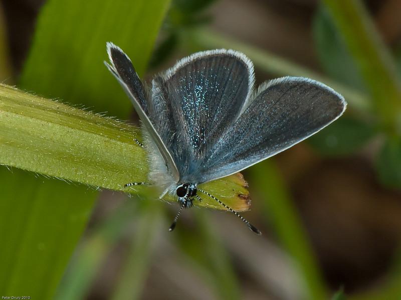 Small Blue (Cupido minimus). Male. Copyright Peter Drury 2010