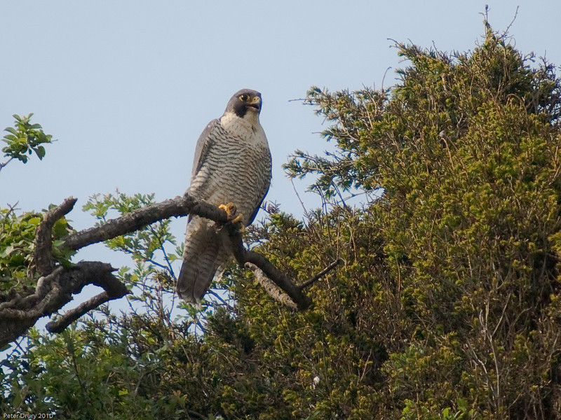 The Peregrine is back at its nest site. Copyright Peter Drury 2010