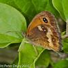 Gatekeeper (Pyronia tithonus). Copyright Peter Drury 2010