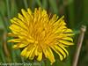 21 March 2011. Dandelion (Taraxacum officinale).  Copyright Peter Drury 2011