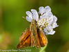 25 July 2010 - Small skipper. Copyright Peter Drury 2010