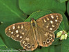 Speckled Wood (Pararge aegeria). Male. Copyright Peter Drury 2010