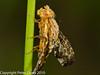 Fruit Fly (Tephritidae- Merzomyia westermanni ). Copyright Peter Drury 2010