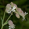 Bladder Campion (Silene vulgaris). Copyright Peter Drury 2010<br /> This plant is native to Europe but introduced to North America where it is considered a weed.<br /> This plant is edible.