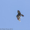 18 June 2013 Female Peregrine readjusting her grip on the prey/.