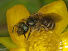 Andrena sp?. Copyright Peter Drury 2010