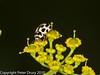 26 Jul 2010 - 14 spot ladybird (Propylea quattuordecimpunctata). Copyright Peter Drury 2010