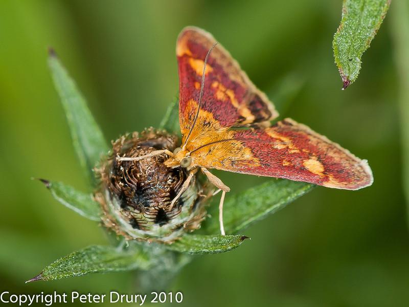 25 July 2010 - Pyrausta purpuralis . Copyright Peter Drury 2010