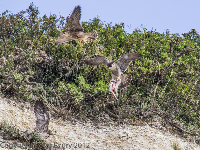 21 June 2013 Female Peregrine arriving at the nest site with prey for the juvenile yjat has yet to fledge. The bird flying past (upper left) is the fledgling of about a week, giving up chasing the female for her prey/