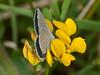 Small Blue (Cupido minimus) - male. Copyright Peter Drury 2010